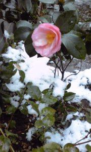 椿「曙」と雪
