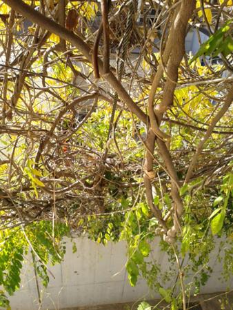 鷹の台2号館2階付近の蔓植物のカーテン