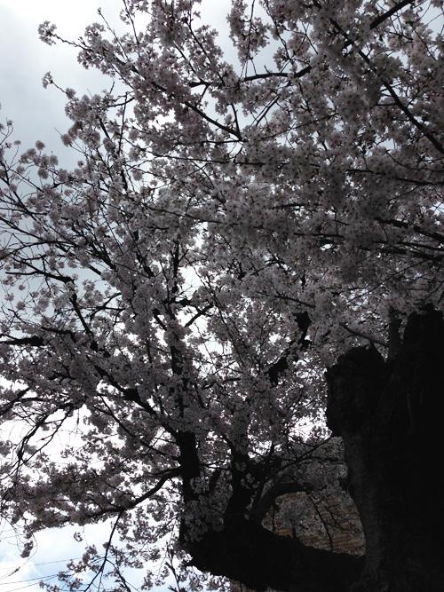 1_sakura
