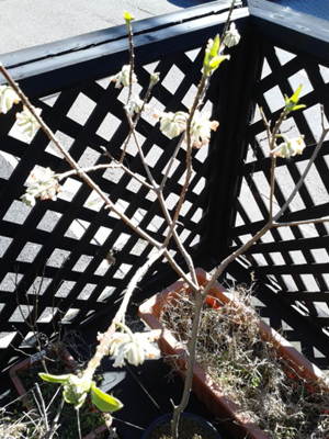 花と芽のある三叉
