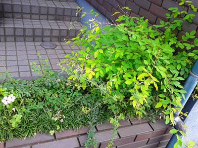 玄関の花壇。左はニチニチソウで、中央の小さな葉の直線の枝がメドハギ、右の広い葉の曲線の枝がハギ(園芸品種)。