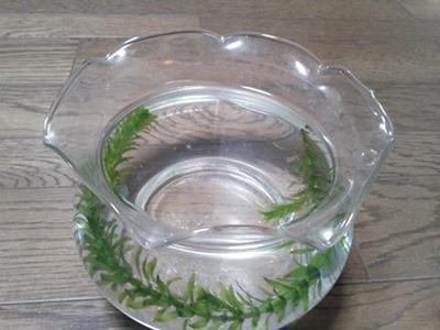 グッピーと水草を入れた金魚鉢